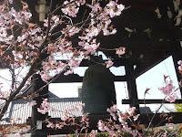 鐘楼の横の一本のふじさくらの木