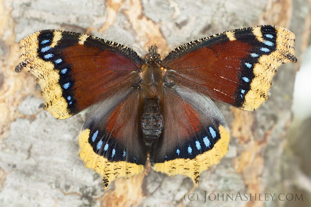Mourning Cloak (c) John Ashley