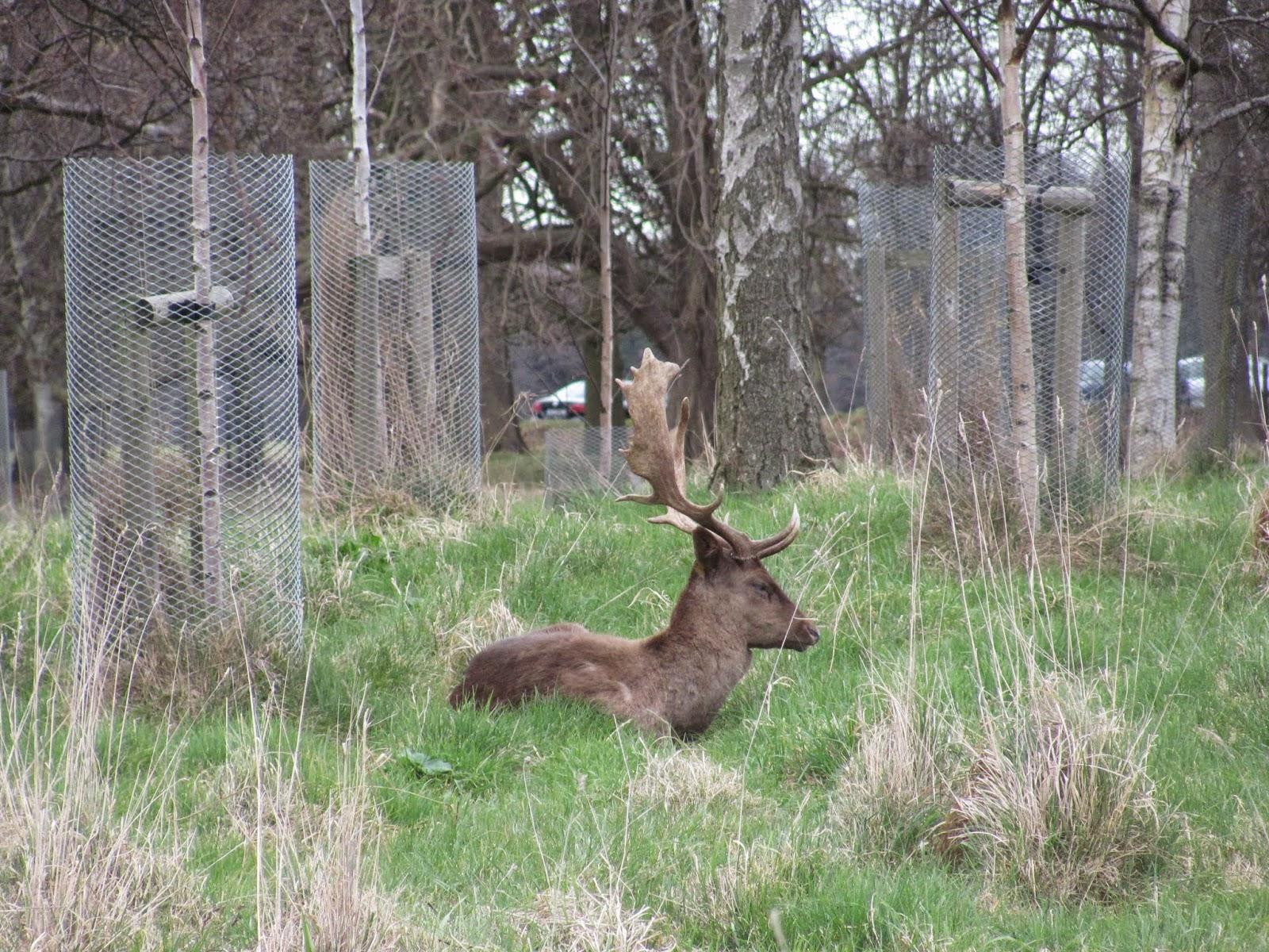 Phoenix Park Fallow Deer