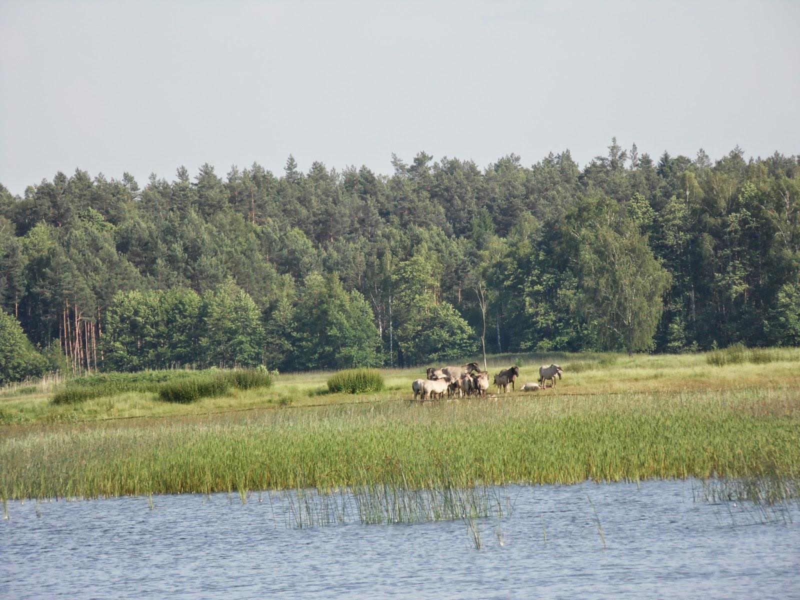 Koniki Polskie przy Stawach Echo leżących w Zwierzyńcu na Roztoczu, w obrębie Roztoczańskiego Parku Narodowego