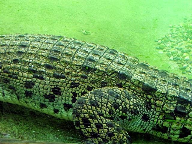 Trabajar en el zoo: Anatomía del orden crocodilia