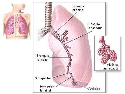 El Sistema Respiratorio Humano: Los Pulmones, lobulillos y alvéolos.