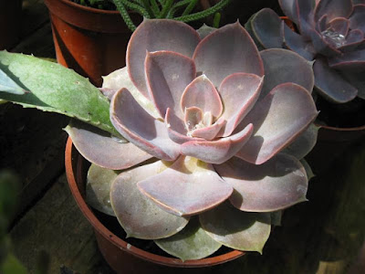 Succulent plant in pot