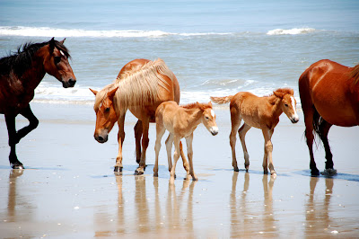 Familia de caballos en la playa - Horses family