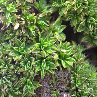 Musgo Syntrichia papillosa de la familia Pottiaceae, en corteza de árbol