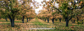 Orchard in Autumn wide angle view by Chris Gardiner Photography www.cgardiner.ca