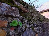 Ombilique (Umbilicus rupestris)