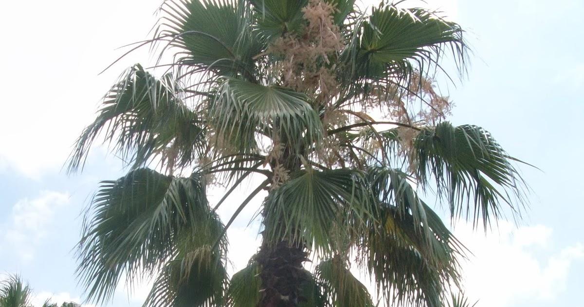 Poda de palmeras en m laga en que poca se realizan - Empresas de jardineria en malaga ...
