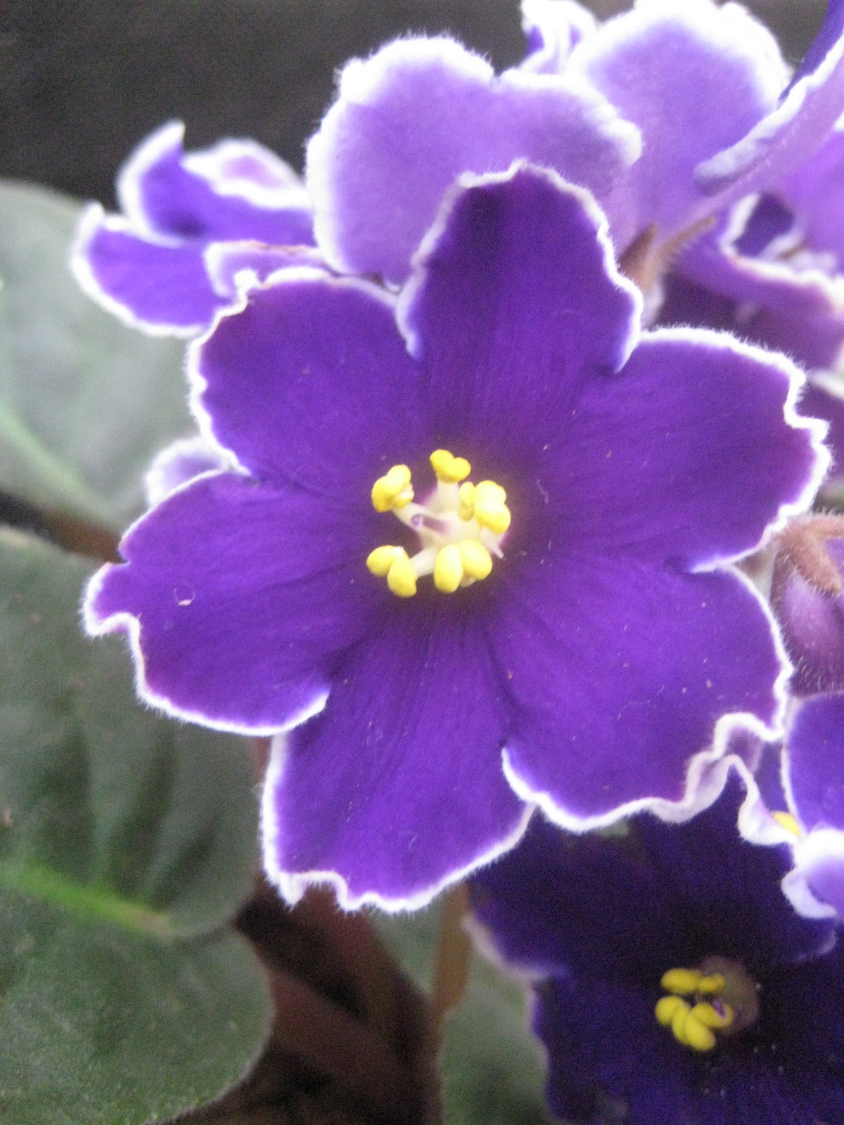 the tattooed gardener  the african violet  saintpaulia