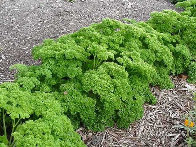 Parsley Compound kills 86% of Lung Cancer Cells | EndoRiot