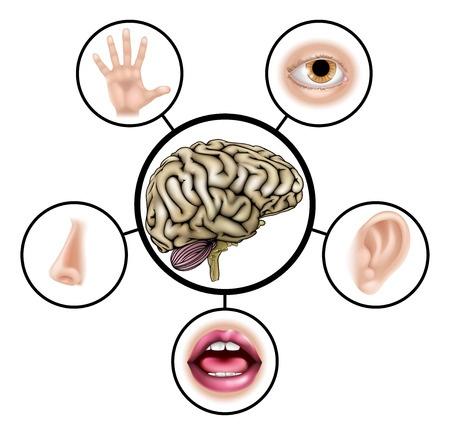 percepção sensorial: tato, ouvido, nariz, olhos, fala