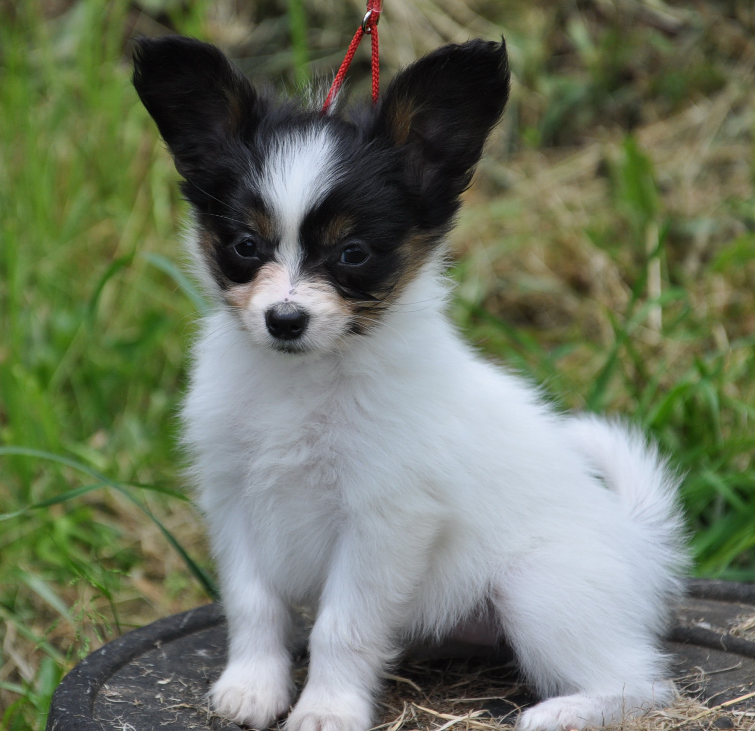 Road s end papillons 7 week old papillon puppies