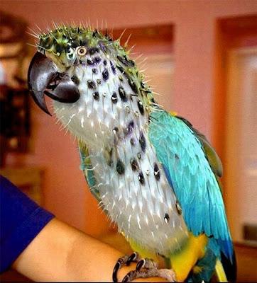 Arara, o pássaro, como penas arrumadas em formato punk ou de cacto