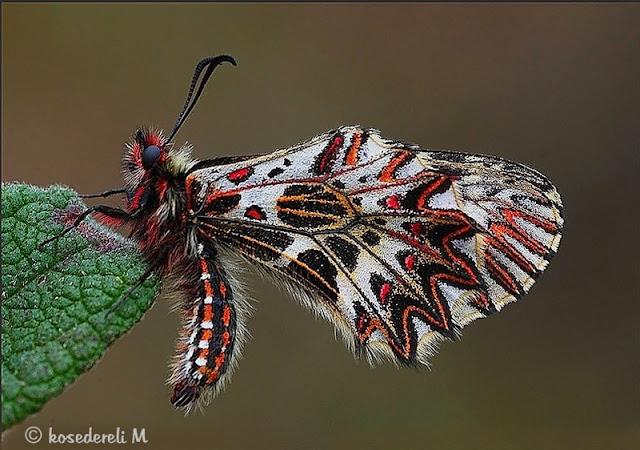 Güneyli fisto kelebeği kanat altı fotoğrafı