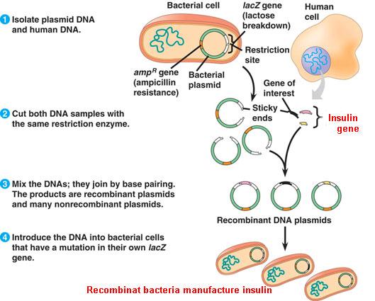 recombinant dna in e coli