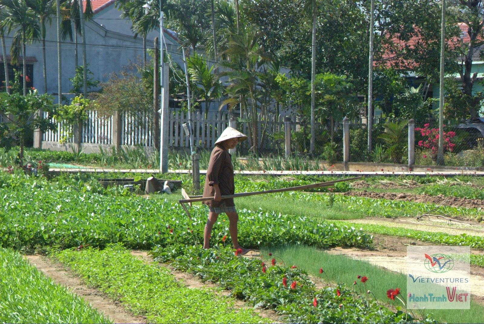 Thơm ngát vườn rau Trà Quế ở Hội An