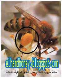 سلة حبوب اللقاح على القدم الخلفية لشغالة نحل العسل