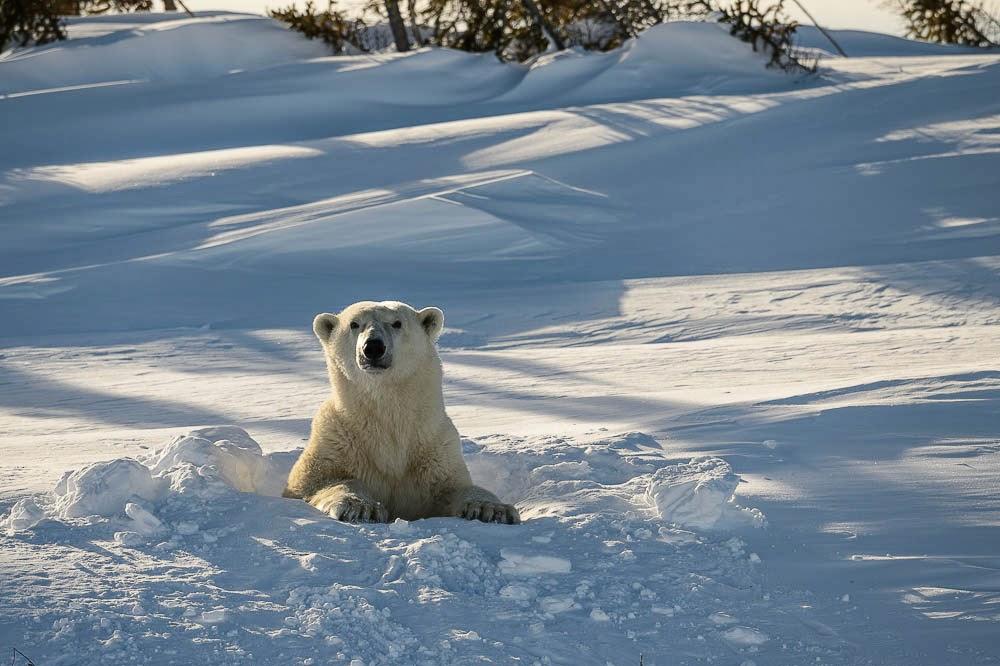 http://www.rudolf-hug.ch/content/fotogalerie/Animals/Mammals/Bears%20%28Polar%29/slides/_14G0081.html