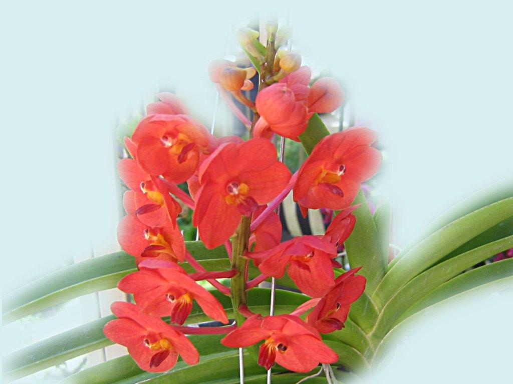 http://4.bp.blogspot.com/-q14bie8UeLE/TiV7ZXWjEhI/AAAAAAAAKSw/og1tFPQFbfE/s1600/red%2Borchid%2Bwallpaper-3.jpg