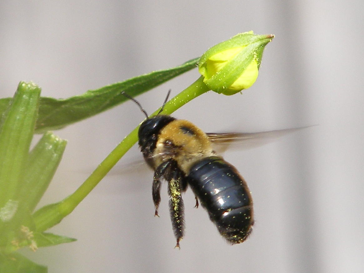 how to kill carpenter bees