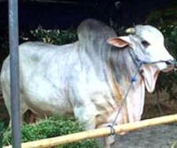 (SBY) pada Hari Raya Idul Adha kali ini berkurban satu ekor sapi