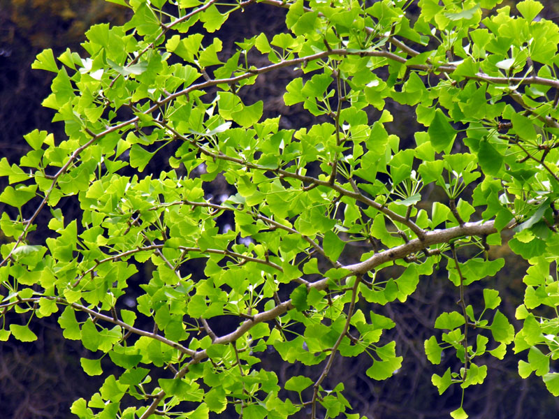 Pampore Ginkgo Biloba Plants For Sale