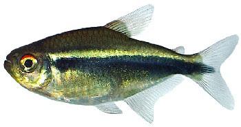 Tetra Neon Negro (Hyphessobrycon herbertaxelrodi)