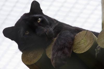 http://4.bp.blogspot.com/-q213tteXNV0/TfGKjK0TeSI/AAAAAAAAAcY/YIRFX-7--6M/s400/sleeping+black+leopard.jpg