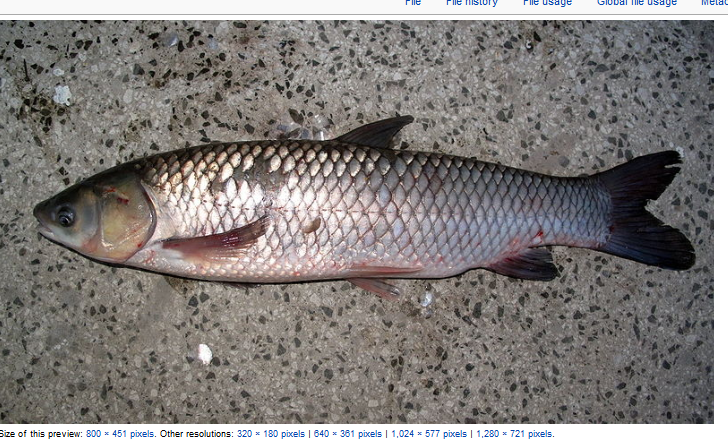Native plants from alabama the grass carp for Can you eat carp fish