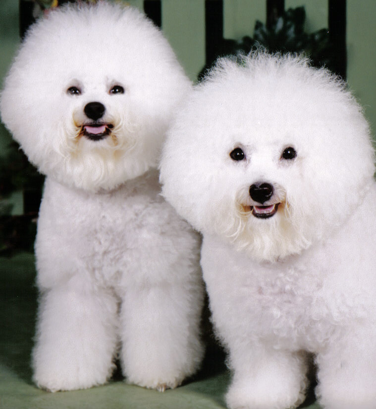 Bichon Frise Dog Breeders Profiles and Pictures | Dog Breeders