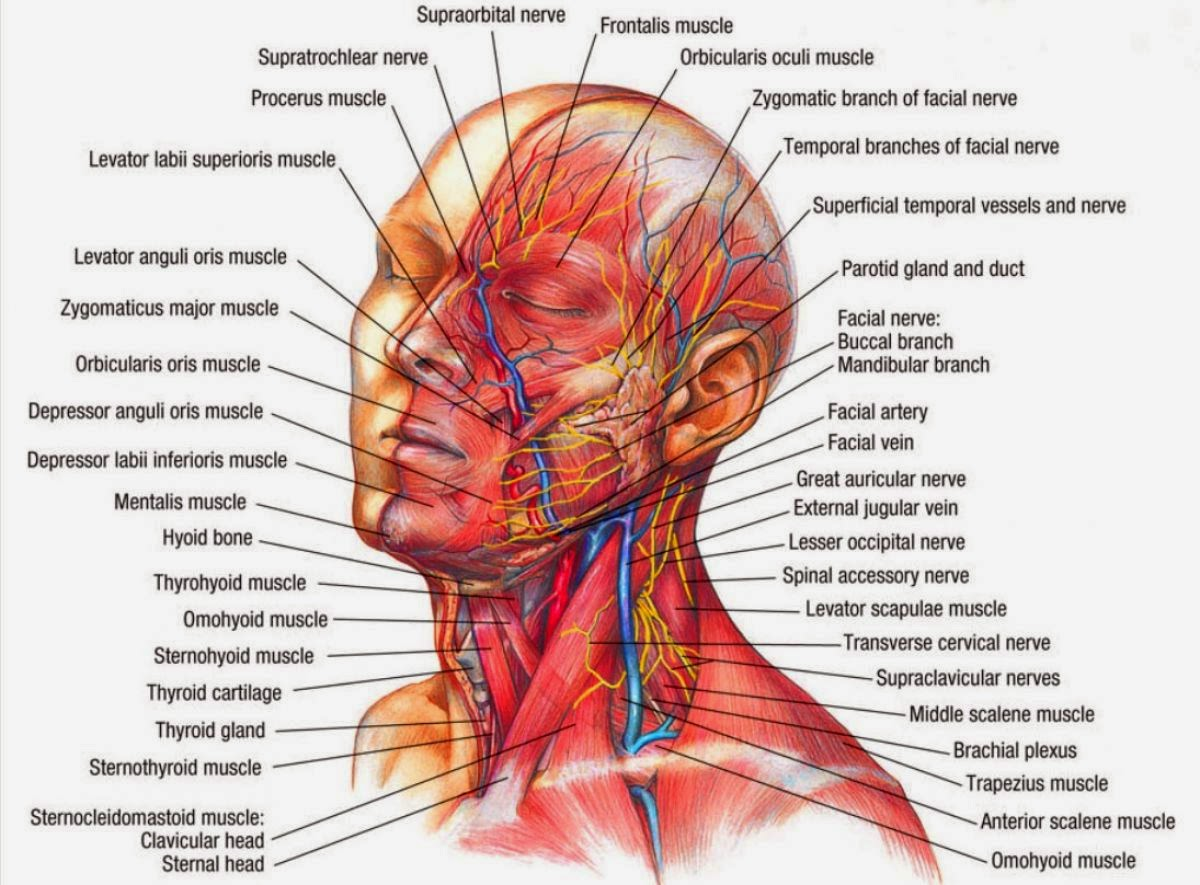 Anatomy And Physiology Gallery: Neck Anatomy