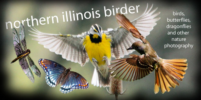 Northern Illinois Birder