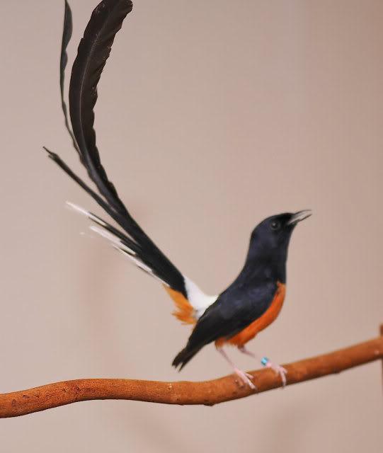 13 Katuranggan Perkutut Yang Belum  - Situs Burung Berkicau