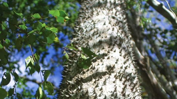"""Pohon Neraka"", Pohon Paling Berbahaya"