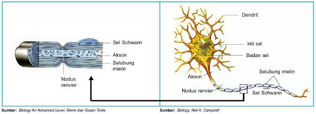Struktur neuron Sel Schwann Selubung mielin Nodus ranvier Dendrit akson