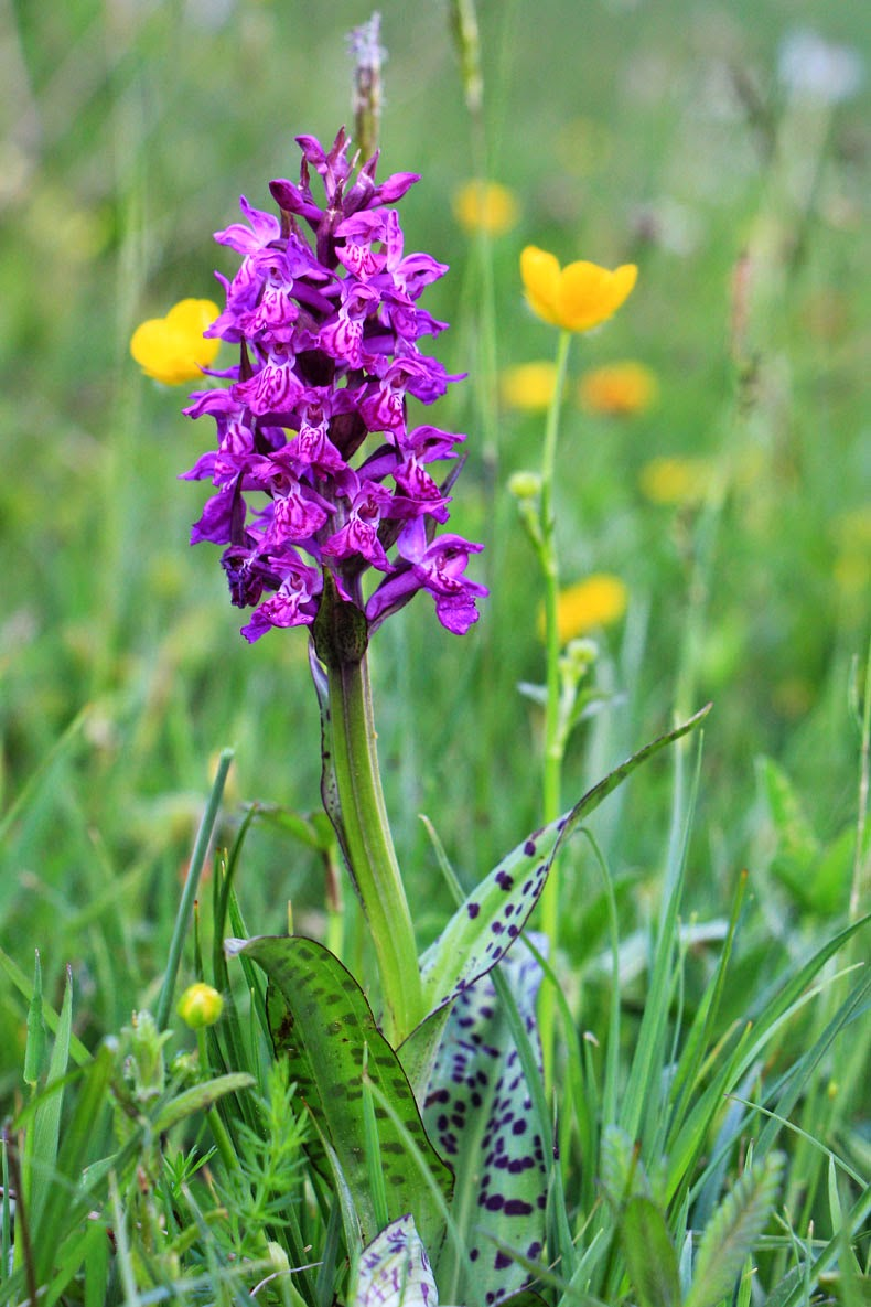 orchidee sauvage montagne