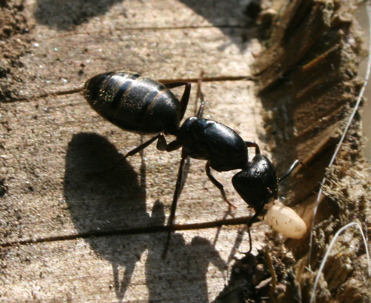 big black ant - photo #6