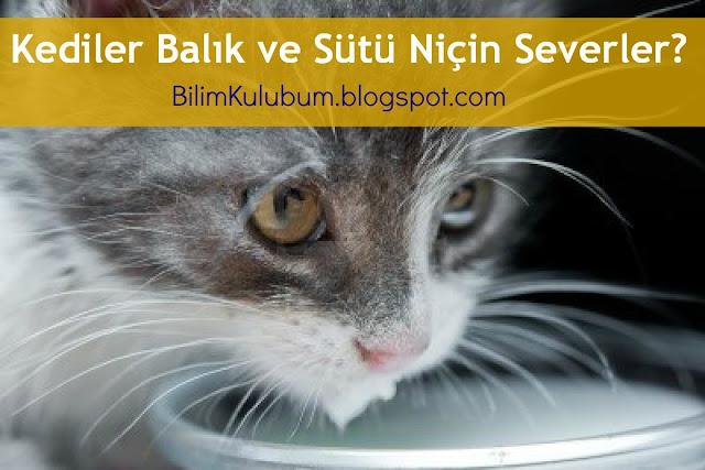 Kediler Balık ve Sütü Niçin Severler ? 1