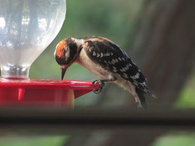 Downy Woodpecker Pretending to be a Hummingbird!