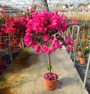 "Jardineria, Catalogo de Plantas: Bougainvillea glabra ""Variegata"""