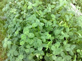 Trevo , Trifolium