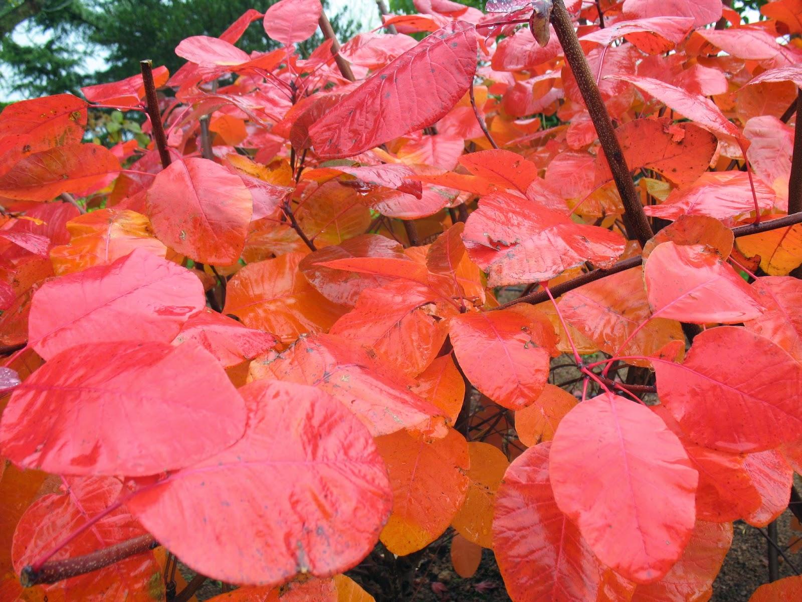 Roses Du Jardin Chneland Arbustes En Couleurs Dautomne