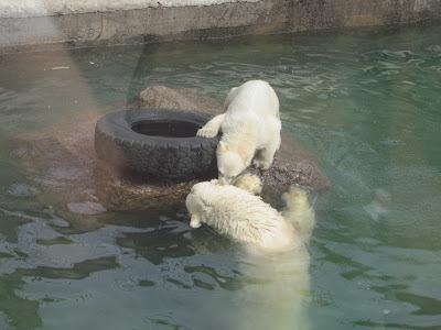 белый медведь +в зоопарке