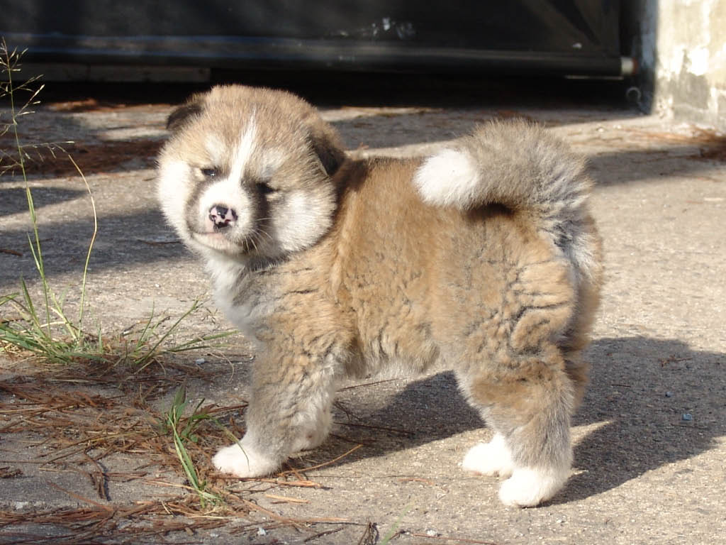 Cute Puppies and Dogs Pictures: Akita Dog Reviews and Pictures