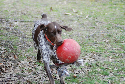 Adventures Of A Gsp Hunting Dog What S That Awful Smell