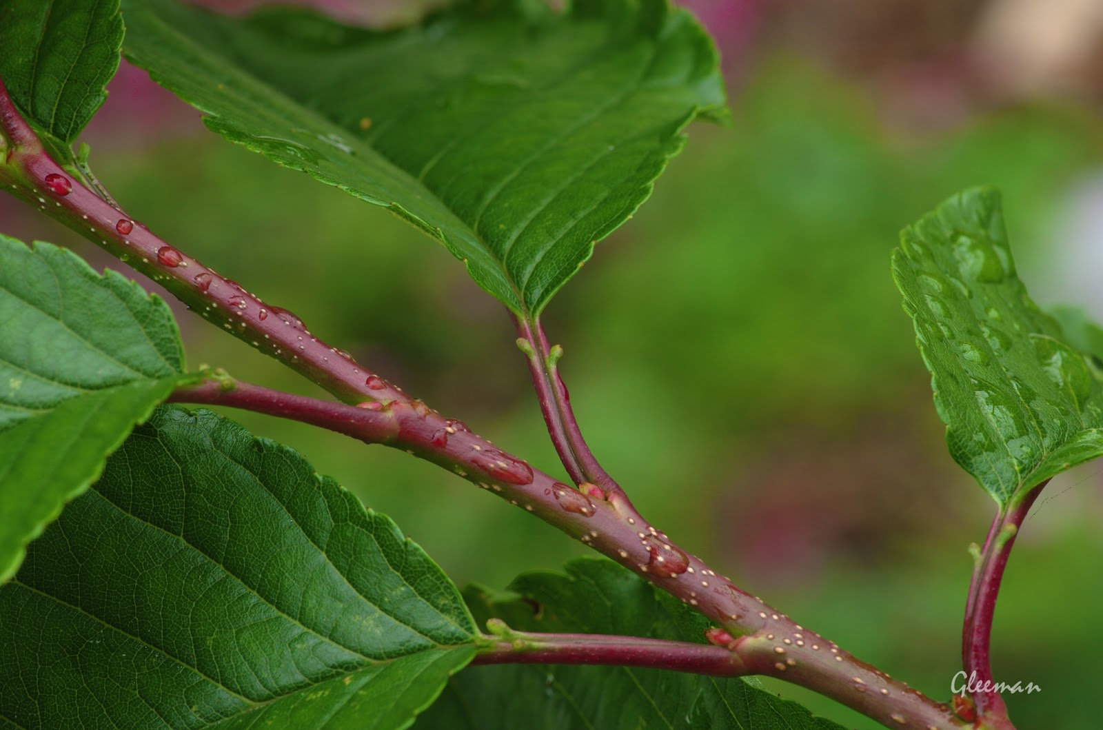 雞南山腳的美麗櫻花。今天特別觀察記錄了一下葉子的形態。