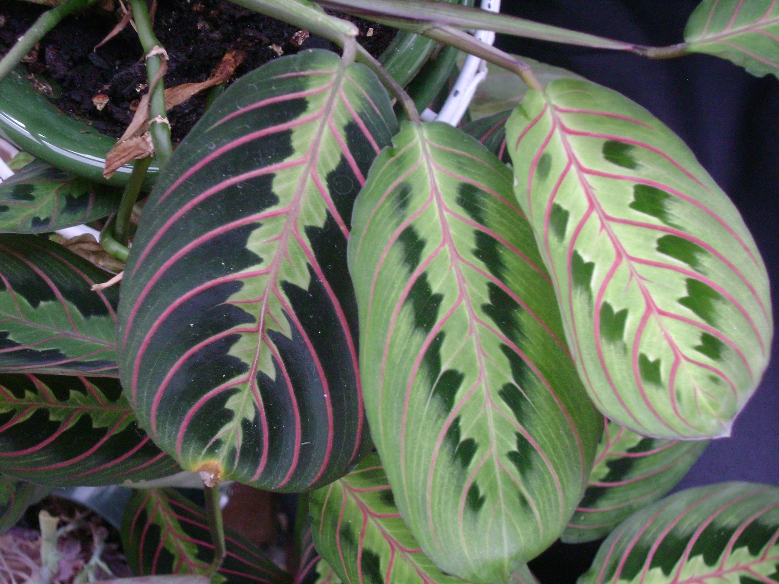 Houseplant guru pets and our plants for Prayer palm plant