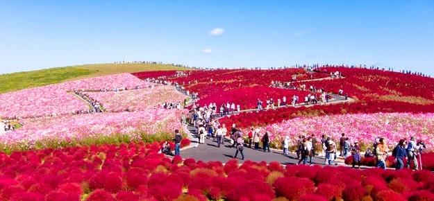 Keindahan Taman Bungan Hitachi Siaside di Jepang
