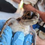 Love Sea Turtles ? Join us at Cubuyal !!