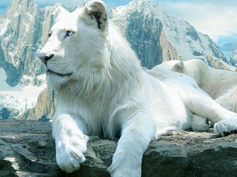 gallery for white lion wallpaper desktop